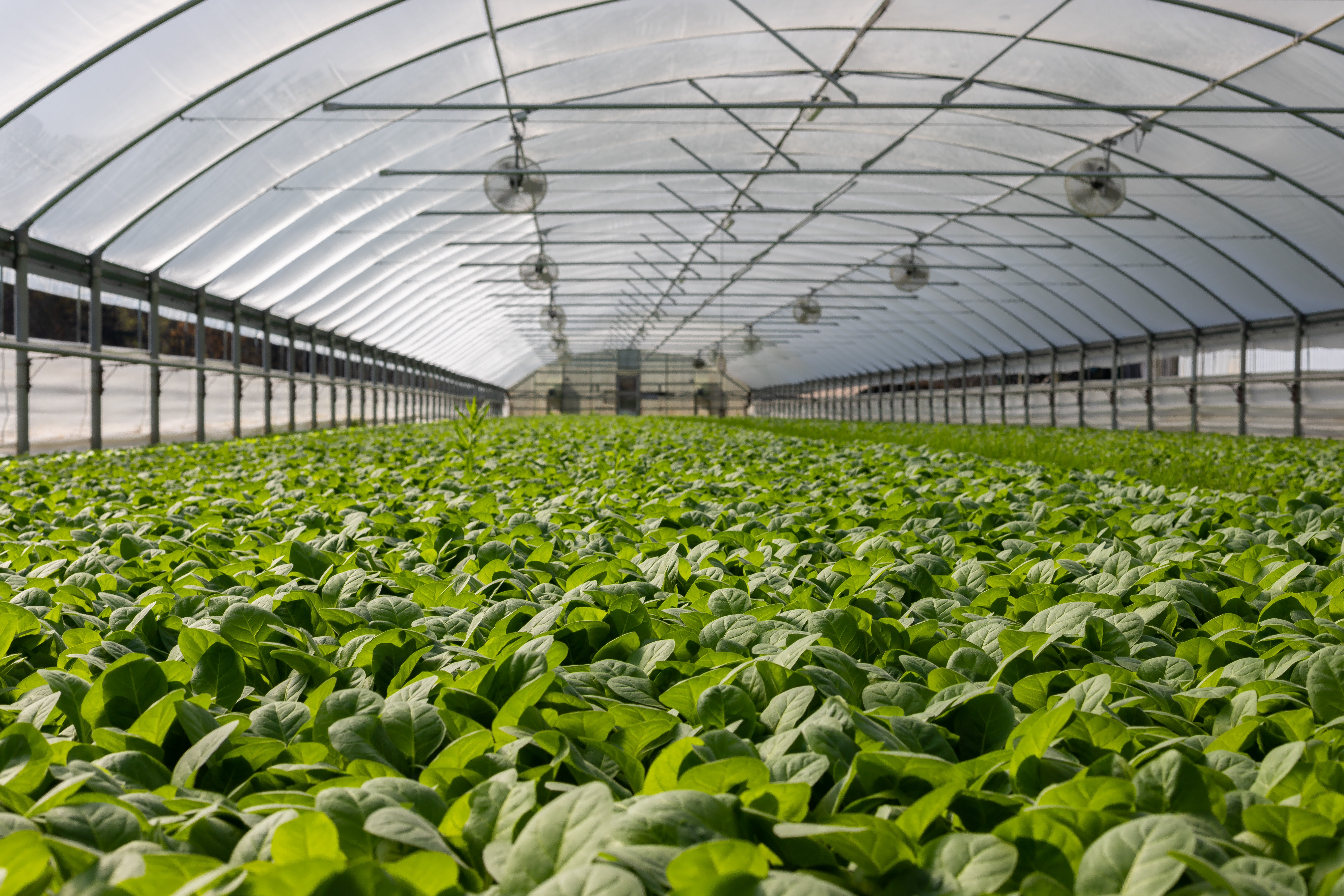 An expanse of green plants in a greenhouse